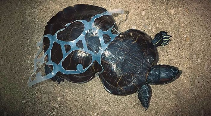 litter turtle with sixpackring